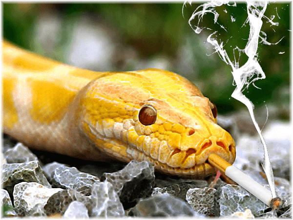 python & cigarettes